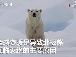 北极熊或将灭绝