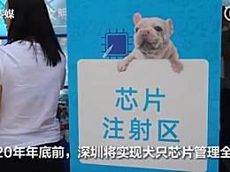 深圳犬只未植入芯片被视为无证养犬 你会为狗狗注射芯片吗