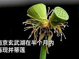 南京玄武湖连续出现2株并蒂莲