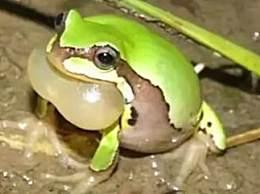秦岭发现罕见雨蛙