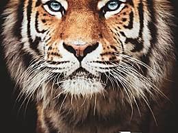 全球野生虎仅剩约4000只 世界爱虎日一起保护野生动物