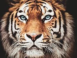 全球野生虎仅剩约4000只