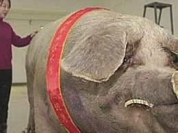 世界上最大的家猪 体长2.5米重900公斤