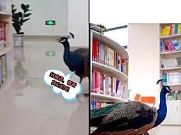 孔雀溜进高校图书馆看书