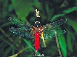 海南首次发现红腹异蜻