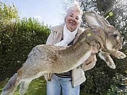 世界上最大的兔子 体长超1米重44斤