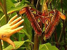 世界上最大的飞蛾 比成年人脸还大