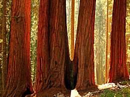 世界上最大的树 一棵树能长3000多年