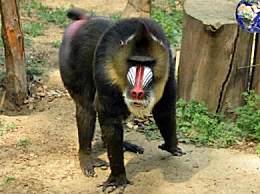 世界上最大的猴子面目 鬼魅体重达50斤