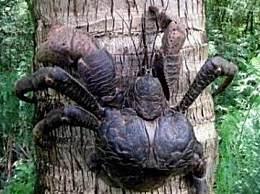 世界上最大的陆地螃蟹 重达12斤