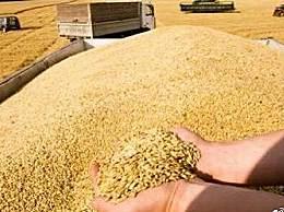 粮食危机:小麦收购减少938.3万吨