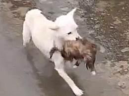 狗妈妈冲入洪水救小狗