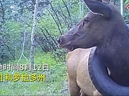 小麋鹿脖子上套轮胎生活1年