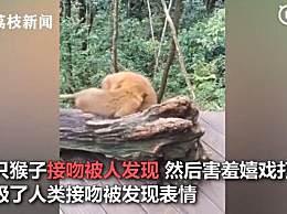 两只猴子接吻被发现害羞打闹 都是旅游小情侣教坏了