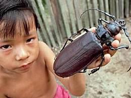 世界最大的昆虫 比人类手掌还大