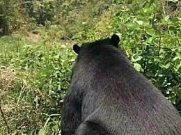 老人上山捡菌遇黑熊 双方都吓懵黑熊估计有500多斤