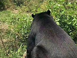 老人上山捡菌遇到黑熊