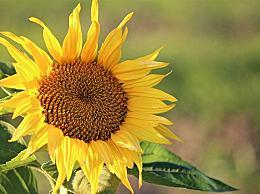 向日葵会一直跟着太阳的方向转来转去吗?蚂蚁庄园8月18日今日答案