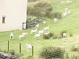 羊群站在山坡一动不动如画面静止