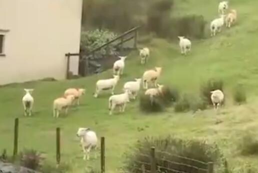 诡异!羊群站在山坡一动不动如画面静止 好似被神秘力量控制