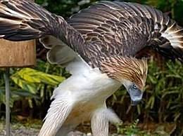 世界上最大的鹰 阿根廷巨鹰体重超140斤