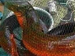 世界上最大的黄鳝 长1.5米重36斤