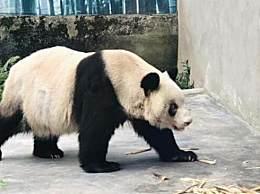 世界现存最年长圈养大熊猫 相当于人类150岁