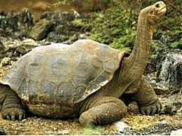 世界上最大的龟 重达700多斤