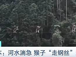 日本猴子走钢丝过河 像人类一样直立排队好神奇