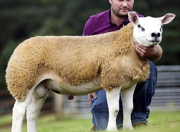 世界上最贵的羊