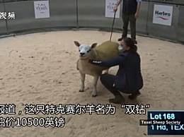 世界上最贵的羊332万元成交