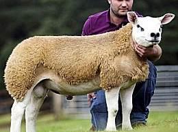 世界上最�F的羊 竟�u出332�f高�r