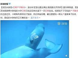 白鲸产子瞬间好神奇
