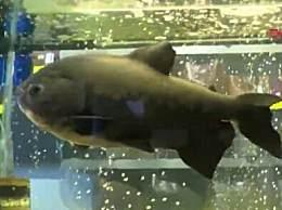 世界上年龄最大的食人鱼 活了33年