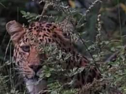 宁夏六盘山拍到金钱豹 该保护区首次近距离拍摄到野生金钱豹
