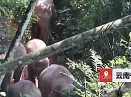24头野生亚洲象进入云南宁洱