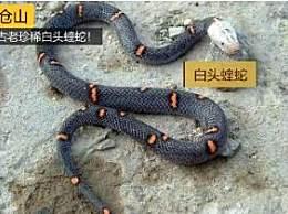 陕西发现古老珍稀白头蝰蛇