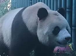 北京动物园回应网红熊猫秃头 是由于打滚引起的毛发磨损