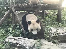 网红熊猫突然头秃