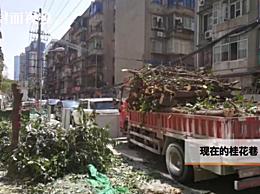 300年桂花巷树野蛮被砍谁批准的