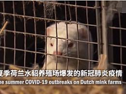 荷兰证实新冠病毒动物传人传播链!荷兰已捕杀100多万只水貂