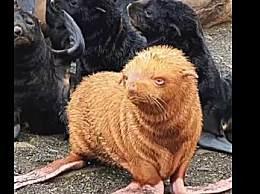 俄罗斯海滩现金色海豹 通体金黄太罕见!