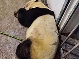 大熊猫雷雷癫痫发作去世
