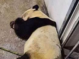 大熊猫雷雷死亡