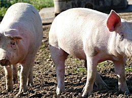 """猪价17元一斤也要""""陷落""""?"""