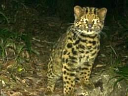 云南拍到珍稀野生动物云猫