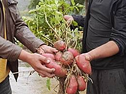 四川种出可生吃土豆