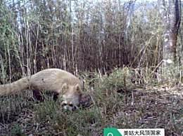 四川发现褪色小熊猫