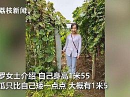 农户种出1米5高冬瓜 网友惊讶原来冬瓜可以长这么长