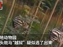 河南一动物园斑马出逃上路 骑车大叔瞬间惊呆了